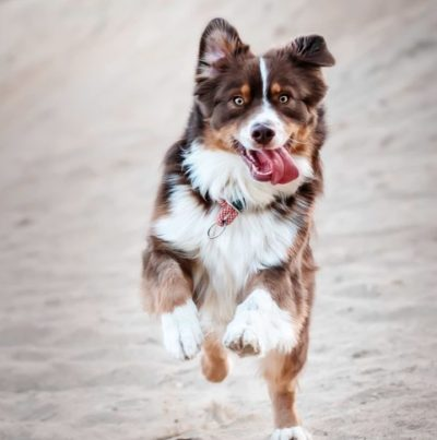 Dog with its tongue out leaping on a beach